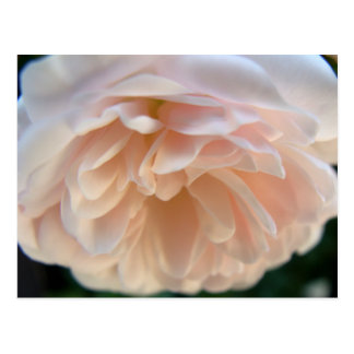 Pale Pink Rose Postcard