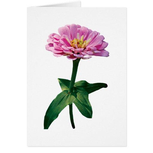 Pale Pink Zinnia Greeting Card