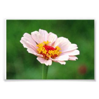 Pale Pink Zinnia Art Photo