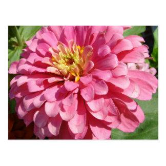 Pale Pink Zinnia Postcard