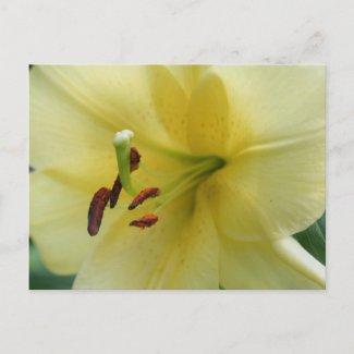 Pale Yellow Lily Macro Flower Photo Postcard postcard