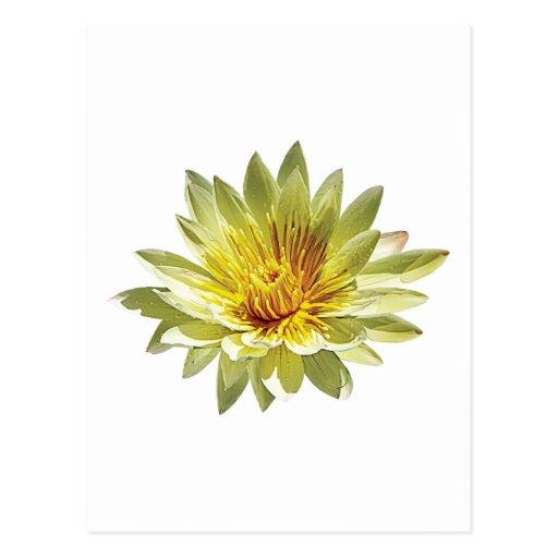 Pale Yellow Water Lily Postcard