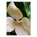 Palest Pink Dogwood Greeting Card
