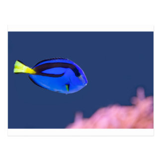 Palette surgeonfish swimming in blue water postcard
