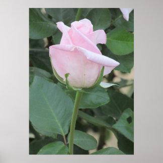 Palidezca - el poster color de rosa rosado