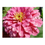 Palidezca - el Zinnia rosado Postal