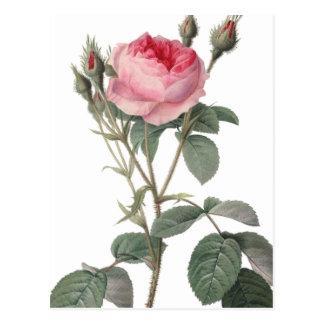 Palidezca - la pintura rosada de los rosas del postal
