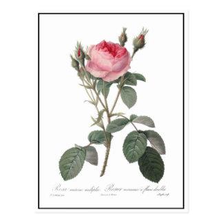 Palidezca - la pintura rosada de los rosas del postales