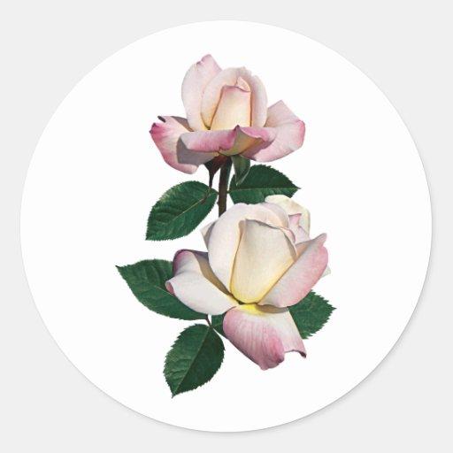 Palidezca - la variedad rosada de los capullos de pegatina redonda