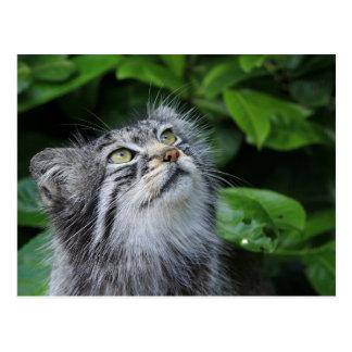 Pallas's cat postcard