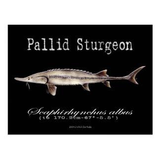 Pallid Sturgeon-Black-Postcard