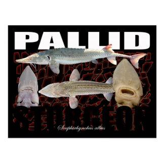 Pallid Sturgeon-Collage-Postcard