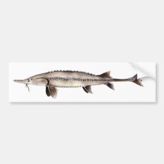 Pallid Sturgeon - Scaphirhynchus albus Bumper Sticker
