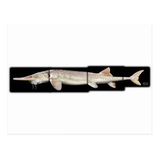 Pallid Sturgeon - Scaphirhynchus albus Postcard