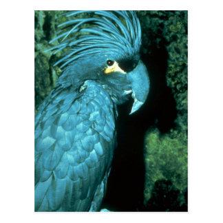 Palm cockatoo has imposing head-dress post cards