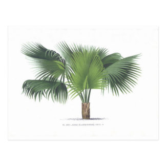 palm drawing VII Postcard