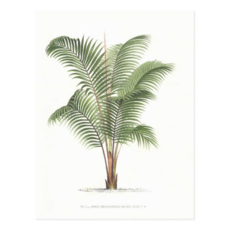 Palm illustration Collection I Postcard
