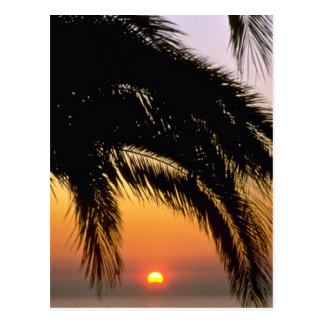 Palm Tree In Late Afternoon Postcard