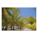 Palm Trees on a Honduras White Sand Beach Poster