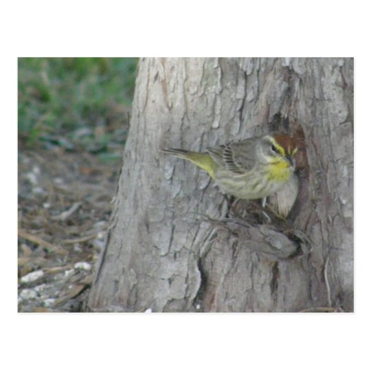 Palm Warbler Postcard
