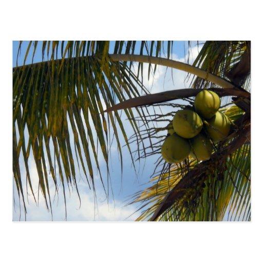 Palma de coco tarjeta postal