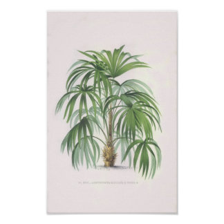 palmas tropicales, palmera poster