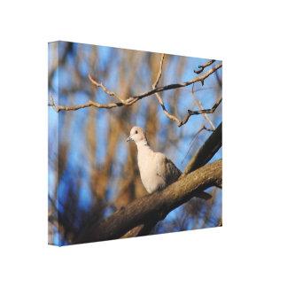 Paloma agarrada eurasiático impresión en lienzo