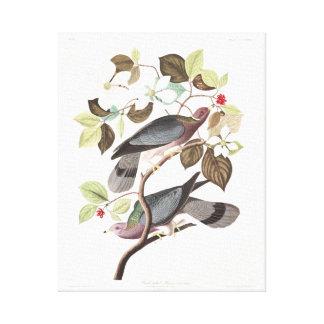 Paloma Banda-atada de la placa 367 de Audubon Impresión En Lona Estirada
