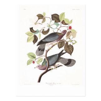 Paloma Banda-atada de la placa 367 de Audubon Postales