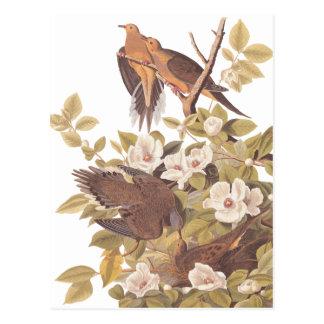 Paloma de la tortuga de Carolina de Audubon Tarjeta Postal