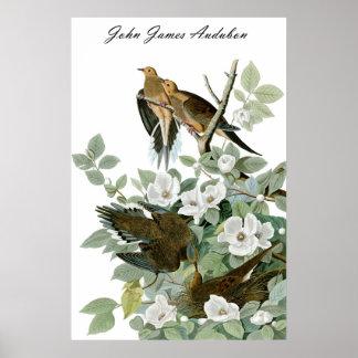 Paloma de luto 1 de la paloma de John James Audubo Póster