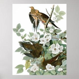 Paloma de luto, bella arte de John James Audubon Póster