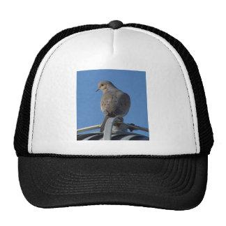 Paloma de luto gorra