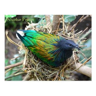 Paloma de Nicobar en serie de la fauna de la Postales