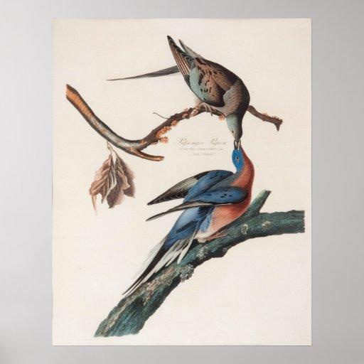 Paloma de pasajero (1838) Juan J. Audubon Póster