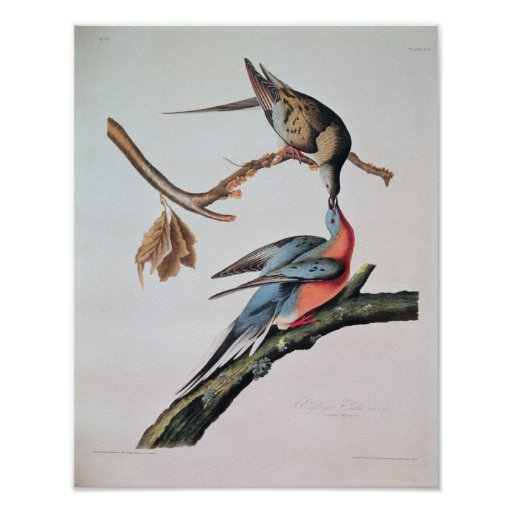 Paloma de pasajero, de 'pájaros de America Póster