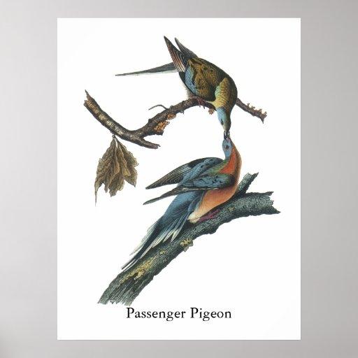 Paloma de pasajero, Juan Audubon Posters