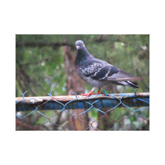 Paloma standing on a wire fence stretched canvas prints