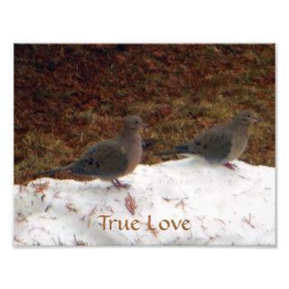 Palomas de luto verdaderas del amor cojinete