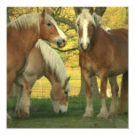 "Palomino Draft Horses Invitation 5.25"" Square Invitation Card"