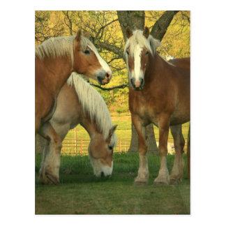 Palomino Draft Horses Postcard