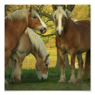 Palomino Draft Horses Poster