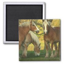 Palomino Draft Horses Square Magnet