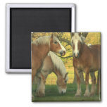 Palomino Draft Horses Square Magnet Magnets