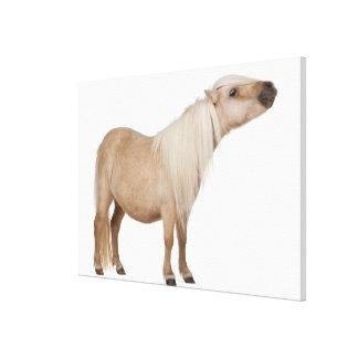 Palomino Shetland pony - Equus caballus (3 years Canvas Print