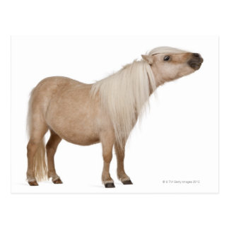Palomino Shetland pony - Equus caballus (3 years Postcard