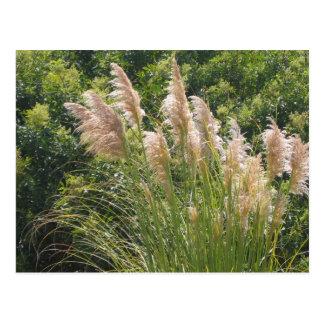 Pampas grass postcard
