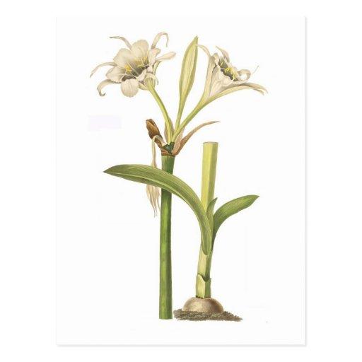 Pancratium calathinum post card