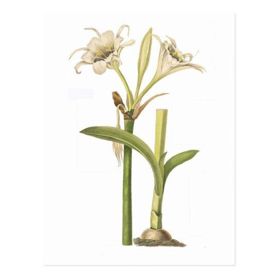 Pancratium calathinum postcard
