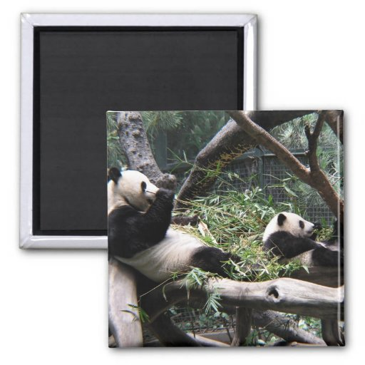 Panda at the San Diego Zoo 2 Inch Square Magnet
